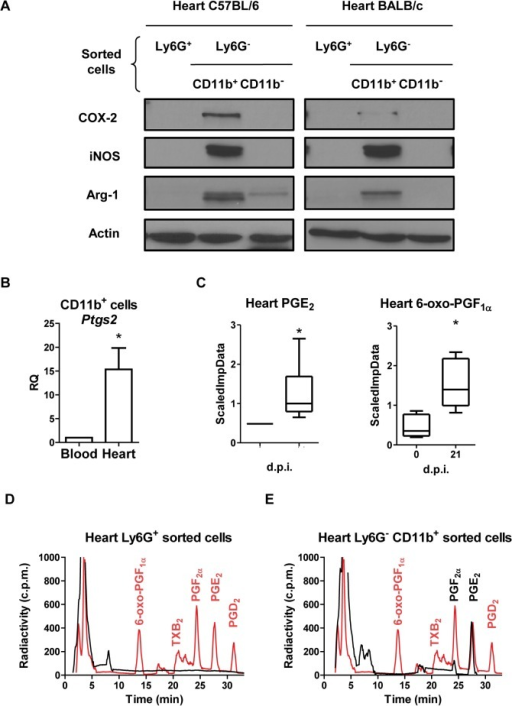 COX-2 expression and activity in heart and infiltrating myeloid cells during T. cruzi infection.(A) Purified Ly6G+, Ly6G-CD11b+and Ly6G-CD11b- cells were obtained from infected C57BL/6 (14 d.p.i.) and BALB/c (21 d.p.i.) mice hearts, by magnetic cell separation. Arg-1, iNOS and COX-2 levels were analyzed by Western blot. Protein levels of Actin are shown as loading control. A representative experiment of the two performed is shown. (B) CD11b+ cells were obtained from pooled infected BALB/c mouse hearts or blood at 21 d.p.i (n = 15). Ptgs2 (COX-2) expression in blood and heart tissue was determined by real time qRT-PCR. Mean ± SEM of two independent experiments is shown. (C) PGE2 and 6-oxo-PGF1α levels in total heart extracts of BALB/c from non-infected (0 d.p.i.) and 21 d.p.i., were determined as described in Methods and represented as scaled imputed data (ScaledImpData) after normalizing raw data values respect to median values of each day run (*p<0.05). Prostanoid production in purified Ly6G+ (D) and Ly6G- CD11b+ (E) cells from BALB/c mice hearts at 21 d.p.i. was determined by incubation with labeled 25 μM [C14] AA and analysis by HPLC (black line and text). Prostanoid standards (red line and text) were run in parallel as described in Methods. A representative experiment out of two performed is shown.