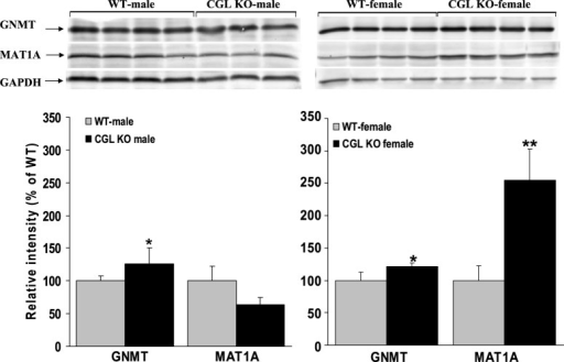 MAT1A protein levels are significantly increased in female Cgl  mice with severely elevated plasma tHcy. Western blotting analysis of hepatic GNMT and MAT1A protein expression levels in male and female WT and Cgl  mice. Values shown represent the mean±s.d., *P<0.05, **P<0.01.