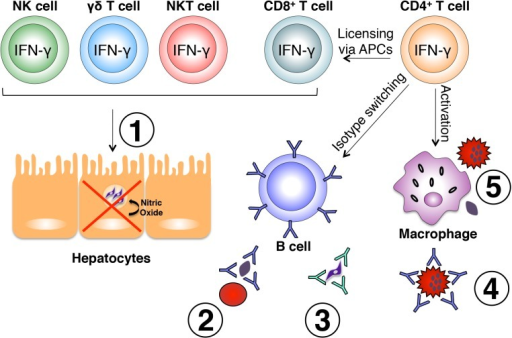 Effector mechanisms induced by IFN-γ during malaria.Various immune cell subsets produce IFN-γ in response to Plasmodium infection. NK, γδ, and NKT cells are largely responsible for early production of IFN-γ in response to liver and blood stages of the parasite and play a role in early control of parasite growth. IFN-γ-producing CD8+ T cells have also been shown to limit intrahepatic parasite growth through an IFN-γ-inducible, nitric oxide-dependent mechanism (1). Once an adaptive immune response is initiated, IFN-γ produced by CD4+ T cells optimally activates CD8+ T cells, B cells, and macrophages. IFN-γ influences isotype switching in B cells leading to production of cytophilic antibodies capable of binding free parasites and blocking red blood cell invasion (2), mediating parasite clearance through opsonization (3), and binding the surface of infected red blood cells promoting antibody-dependent phagocytosis (4). Production of IFN-γ from CD4+ T cells also optimally activates macrophages to phagocytose infected red blood cells and free parasites (5). All of these mechanisms are important for optimal control of parasite growth during Plasmodium infection.