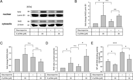 Effects of E-α-p-OMe-C6H4-TMC (short: E-pOMe) on Nrf2 expression after staurosporine treatment.RAW264.7 cells were pretreated with E-α-p-OMe-C6H4-TMC (30 μM) for 3 h, followed by staurosporine (1 μM for 2 h). Nuclear and cytosolic cell extracts were prepared and Nrf2 expression was measured by Western blot analysis. A. The image is representative of four independent experiments that showed similar results; B. Densitometric analysis of nuclear extracts, optical density of Nrf2 normalized against Lamin B1 (n = 4; mean ± S.E.M.; ** = p < 0.005); C. Densitometric analysis of cytosolic extracts, optical density of Nrf2 normalized against β-actin (n = 4; mean ± S.E.M.); D. Densitometric analysis of nuclear Nrf2 normalized to cytosolic Nrf2 (n = 4; mean ± S.E.M.; * = p < 0.05); E. Effects of E-α-p-OMe-C6H4-TMC on NF-κB DNA binding activity after staurosporine treatment. RAW264.7 cells were pretreated with E-α-p-OMe-C6H4-TMC (30 μM) for 3 h, followed by staurosporine (1 μM for 2 h). Nuclear extracts were prepared and NF-κB DNA binding activity was measured (n = 4; mean ± S.E.M.; * = p < 0.05).