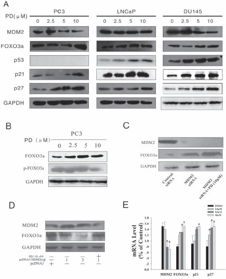 PD downregulates MDM2 and increases FOXO3a expression in PC3 cells. A. PC3, LNCaP and DU145 cells were exposed to various concentrations of PD for 24 hr; then target proteins (MDM2, FOXO3a, p53, p21and p27) were examined by Western blotting (WB). B. The expression of the FOXO3a and p-FOXO3a proteins was examined by WB in PC3 cells after PD treatment for 24 hr. C. & D. PC3 cells were transfected with MDM2 siRNA or a pcDNA-MDM2 (full length) plasmid,then the expression levels of MDM2 and FOXO3a were determined by WB after incubation with or without 10 mM PD. Blocking MDM2 expression by siRNA increased the FOXO3a expression, while MDM2 overexpression decreased the FOXO3a protein expression. However, treatment with PD was able to increase the FOXO3a expression even in the presence of MDM2 overexpression. E. The mRNA expression levels of MDM2, FOXO3a, p21 and p27 were detected by real-time quantitative PCR, and the data were normalized to the mRNA level of GAPDH.