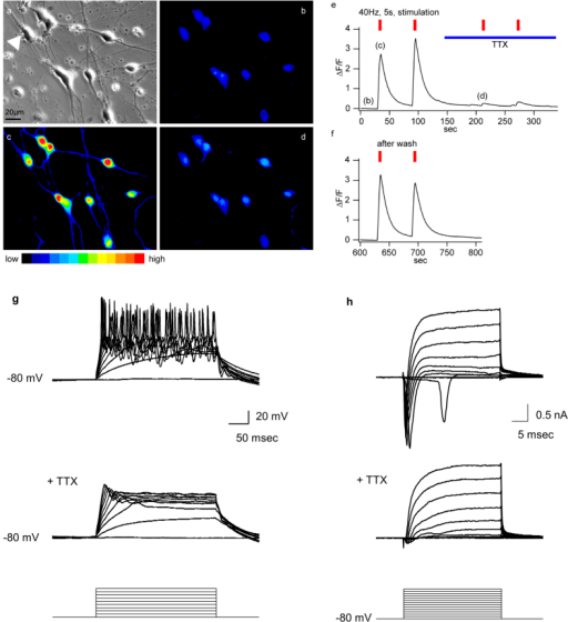 Syn-5TFs-induced neurons are functional.(a–f) Electric stimulation-evoked calcium transients in neurons induced by syn-5TFs on Day 7. Fluo-4 loaded cells before electric stimulation in DIC microscopy (a) and fluorescence microscopy (b). Cells after electric stimulation with 40 Hz pulses for 5 secs (c). Cells pre-treated with tetrodotoxin (TTX) (0.5 μM) for two min to block sodium channels, followed by electric stimulation (d). (e) Time line of representative trace of cell, indicated by an arrowhead in (a). The timings of image capture are indicated as (b–d). (f) Time line trace shows the recovery of cells to evoke calcium transients after TTX wash-off. (g) Repetitive multiple action potentials induced by current injections in the current clamp mode in syn-5TFs-induced neurons on Day 10. Application of TTX blocked the firing. (h) In a voltage clamp mode, syn-5TFs-induced neurons exhibited fast activating and inactivating sodium currents, which were blocked by TTX. The square pulses shown in the bottom panels indicate 20 pA current steps in (g) or 10 mV voltage steps in (h) applied to the syn-5TFs-induced neurons.