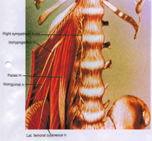 right sympathetic trunk; ilioinguinal nerve; iliohypogastric nerve; psoas major; lateral femoral cutaneous nerve