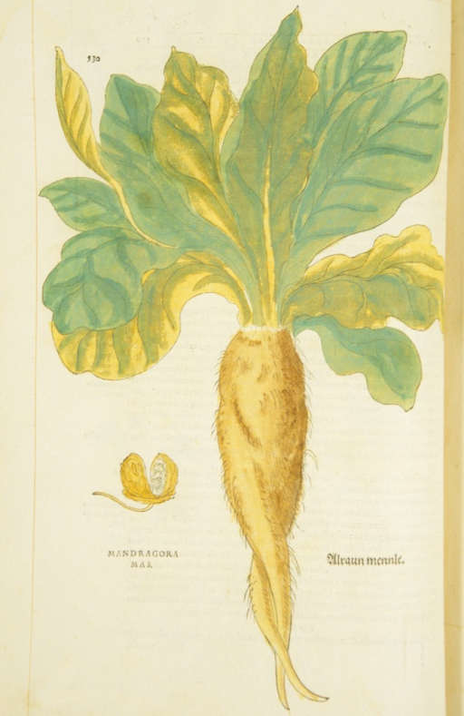 <p>Hand-colored woodcut of the mandrake root.</p>