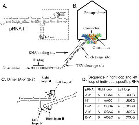 Schematic presentation of protease TEV cleavage site, V8 cleavage site at the N-terminus of connector in His-procapsid, primary sequences and secondary structure of wild-type phenotype pRNA I-i′. (A) Primary sequences and predicted secondary structure of wild-type phenotype pRNA I-i′. Right and left loops involved in hand-in-hand interaction are boxed and in boldface. Two functional domains are outlined. (B) TEV cleavage site, V8 cleavage site and amino acid sequence at the N-terminal of His-gp10 as shown in a His-procapsid model. (C) Illustration for the formation of a pRNA dimer (A-b′) (B-a′) via interlocking right and left loop. (D) Sequence in the right loop and left loop of individual specific pRNA.