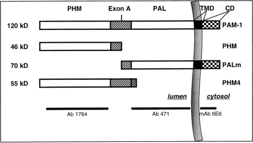 Structures of PAM proteins studied. Intact PAM-1 is  an integral membrane protein of 120 kD that consists of two catalytic domains (PHM and PAL) which are separated by the noncatalytic exon A region (hatched box) (Eipper et al., 1993). A  proteolytic cleavage site is present within exon A. The PHM and  PAL catalytic domains lie within the lumenal compartment. The  major protein products generated from PAM-1 cleavage in neuroendocrine cells are 46-kD PHM (soluble) and 70-kD PAL  (membrane bound, PALm); PALm includes a transmembrane  domain (TMD) and a cytoplasmic domain (CD). PHM4 is a soluble, naturally occurring, alternatively spliced variant of PAM  (previously called PAM-4); PHM4 contains the PHM and exon A  domains followed by a unique COOH terminus. AtT-20 cells stably transfected with vectors encoding PAM-1 and PHM4 were  examined. The specificities of the PAM antisera used in this  study are shown. mAb, mouse monoclonal antibody; Ab, rabbit  polyclonal antibody.