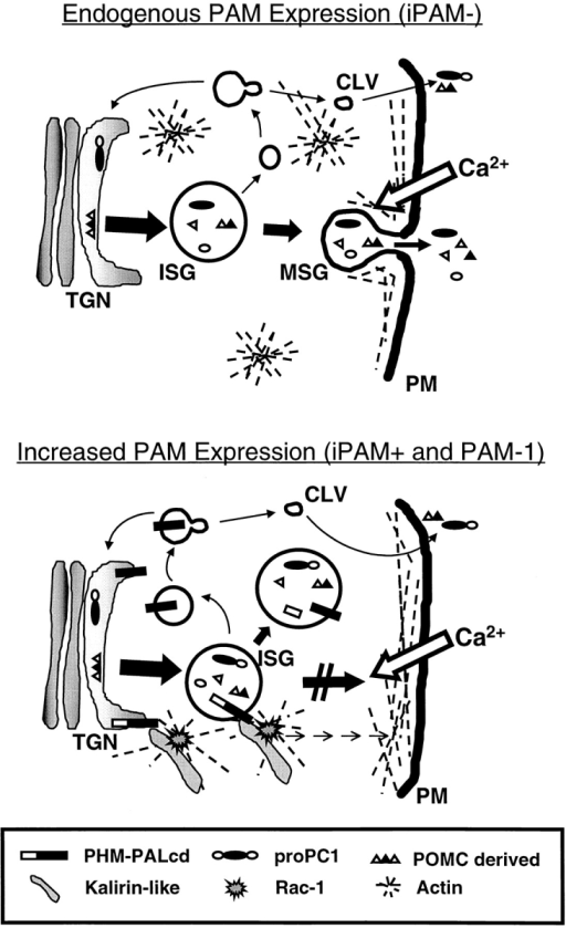 Model for the effects of increased PAM expression in  AtT-20 cells. In noninduced iPAM cells (iPAM−) neuroendocrine-specific cleavages begin to occur in ISGs. Products are  stored in mature granules (MSGs). Addition of secretagogue  stimulates Ca2+ entry (mimicked here by addition of Ba2+) and  secretion from mature, but not from immature, secretory granules. Budding from ISGs allows nonaggregated content proteins  and membrane proteins to leave the ISG and undergo secretion  via constitutive-like vesicles (CLV) or return to the TGN. Filamentous actin is scattered throughout the cell. Upon expression  of PAM-1 (iPAM+ or PAM-1), the actin cytoskeleton is reorganized and concentrated more at the plasma membrane (PM).  Mature granules are no longer collected at the tips of cell processes, regulated exocytosis no longer occurs, and cleavage of  secretory granule content proteins is slowed. The interaction of  the cytosolic domain of PAM-1 with an endogenous Kalirin-like  protein and thus with Rac1 is postulated to cause the observed alterations in the actin cytoskeleton. Inhibition of regulated exocytosis and secretory granule maturation and localization may involve contributions from the lumenal domains of PAM as well as  the cytosolic domain.