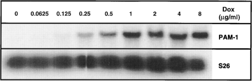 Induction of PAM mRNA in iPAM cells. Northern  blot of total RNA (10 μg) isolated from iPAM cells after treatment with the indicated doses of Dox (μg/ml) for 48 h. The membrane was hybridized with cDNA probes for PHM (top) and S26  ribosomal protein (bottom). Similar results were obtained in two  other analyses of this type.