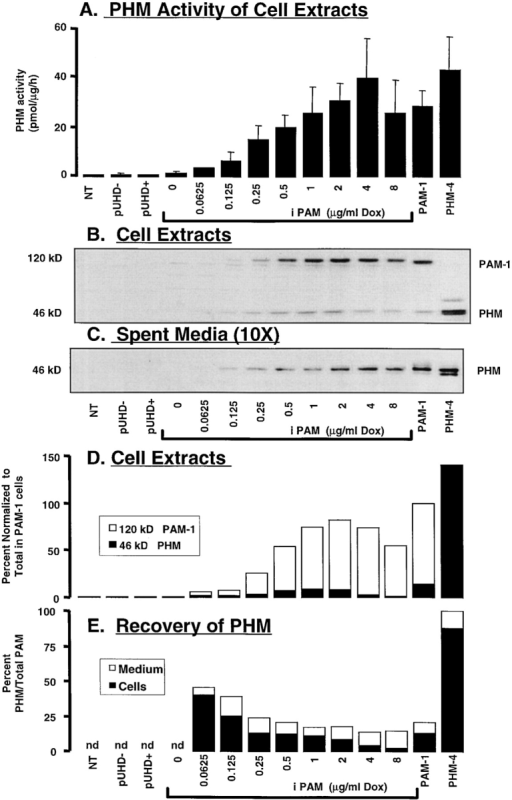 Induction of PAM protein in iPAM cells: PHM analysis. A dose–response curve was generated by incubating the  iPAM cells with the indicated doses of Dox (micrograms per milliliter) for 48 h. NT and stably transfected pUHD−, pUHD+  (treated with 4 μg/ml Dox for 48 h), PAM-1, and PHM4 cell lines  were also analyzed. (A) PHM specific activity was measured in  cell extracts (mean ± SEM; n = 2–4). Western blots of 20 μg of  cell protein (B) and spent medium corresponding to 200 μg cell  protein (6 h basal collection, C) were visualized with antiserum to  PHM (Ab 1764). (D) Blots from cell extracts were digitized; expression in PAM-1 cells was set to 100%, and the relative contributions of intact 120-kD PAM-1 (open bars) and 46-kD PHM  (filled bars) are plotted as a stacked bar graph. (E) For each cell  line or dose of Dox-treated cells, the amount of 46-kD PHM in  cell extracts (B) or spent medium (C) (taking into account the 10-fold excess volume analyzed) was expressed as a percentage of  total PAM; total PAM = 120-kD PAM-1 (cells) + 46-kD PHM  (cells and media). Similar results were obtained in two additional  experiments.