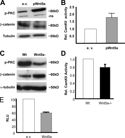 Wnt5a signals through the noncanonical Wnt pathway in thymocytes. Western blot on Wnt5a-infected or empty vector–infected (e.v.) NFC cell protein extracts (A) and on protein extracts of Wnt5a+/+ or Wnt5a−/− E18.5 thymocytes (D) with primary antibodies against phosphorylated PKC, β-catenin, or α-tubulin. (B) CamKII activity assays performed on Wnt5a-infected or e.v. NFC cells. (C) Representative Western blot displaying inhibition of activated PKC and β-catenin levels in fetal thymocytes. (D) CamKII assays performed on E18 fetal thymocytes reveals reduced CamKII activity in Wnt5a−/− cells. All experiments in A–D were performed three times with similar results. Error bars represent the SD. P < 0.05. (E) Addition of Wnt5a inhibits β-catenin activation of TOPFLASH reporter in NFC cells. RLU, relative luciferase activity. Results are the mean of three independent transfections. This assay was repeated twice, with similar qualitative results. Error bars represent the SD. P < 0.05.