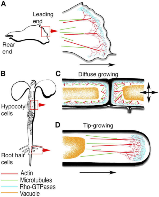 "Schematic depiction of similar intracellular zonation at the leading edge of animal and plant cells. (A) A generalized motile animal cell with a rear end and leading edge. Enlarged view of the lamellipodium displays an organelle-free area near the absolute edge, followed by an actin-rich zone with dynamic, rapidly polymerizing actin. The microtubular zone usually lies behind the actin-packed zone, though pioneering microtubules make their way into the actin zone. Arrow shows the direction of membrane extension. (B) A seedling depicting two of the regions where ""diffuse""-growing cells, such as hypocotyl cells and ""tip""-growing cells such as root hairs are found. (C) Plant cells exhibiting diffuse growth have large expanding vacuoles that press the cytoplasm into a thin layer against the plasma membrane. A fine F-actin meshwork lying below the plasma membrane is followed by cytoplasmic microtubules on its inner side. Plant cell–specific cortical microtubule arrays have not been shown. Arrows suggest the multidirectional, diffuse nature of cell expansion. (D) Plant cells that extend by tip-focused growth are characterized by an apical accumulation of vesicles in an organelle-free zone. A fine actin meshwork with its distal region interspersed by dynamic microtubules follows. A vacuole occupies the rest of the nongrowing, mature part of the tubular cell. Arrow shows the direction of membrane extension. Note that the conserved region (blue speckled) of Rho-GTPase/actin interaction leading to a fine F-actin mesh in each cell type has been based on the localization of Rac in live animal cells (Kraynov et al., 2000) and AtROP localizations for different plant cells (Fu et al., 2001, 2002; Molendijk et al., 2001; Jones et al., 2002)."