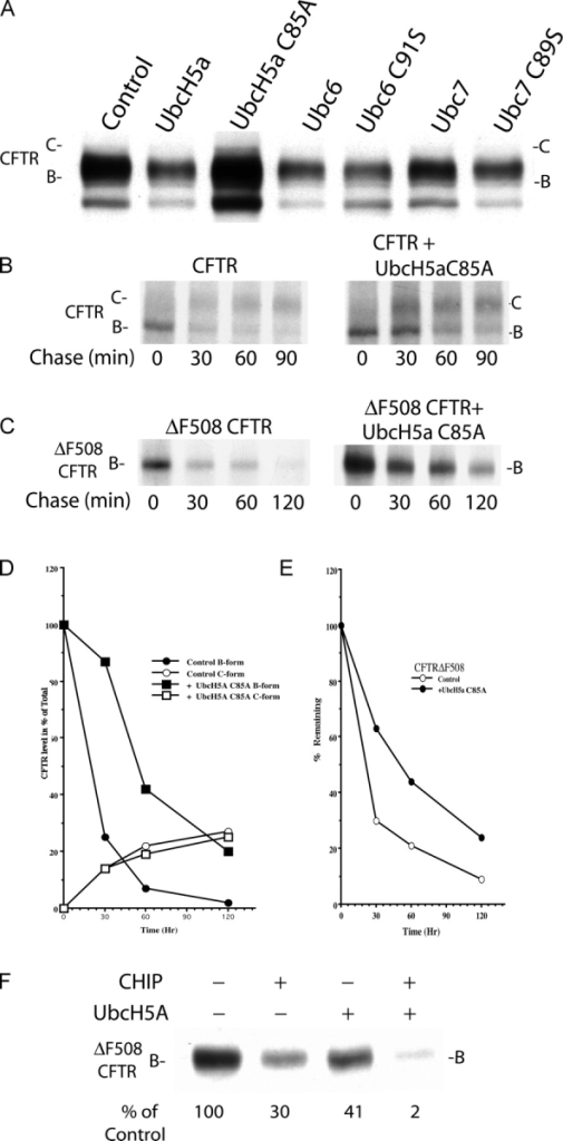 Degradation of CFTR and CFTRΔF508 is inhibited by overexpression of UbcH5A C85A. (A) Western blot analysis of CFTR levels upon overexpression of the E2s UbcH5A, Ubc6, and Ubc7. HEK293 cells were transfected transiently with expression plasmids that encode the indicated proteins. Total cell extracts were prepared 24 h after transfection in SDS-PAGE sample buffer. Nitrocellulose was probed with α-CFTR and developed. The immaturely glycosylated ER localized B form and maturely glycosylated plasma membrane associated C form of CFTR are denoted as B and C, respectively. (B and C) UbcH5A C85A overexpression slows the rate of CFTR and CFTRΔF508 degradation. Cells were labeled for 20 min with 35S-translabel and a chase period was initiated by the addition of cycloheximide. At the indicated times, 35S-CFTR or 35S-CFTRΔF508 was immunoprecipitated from cell extracts. CFTR or CFTRΔF508 isolated in this manner was detected by SDS-PAGE and fluorography. (D and E) Graphs illustrate the processing efficiency and half-life of CFTR and CFTRΔF508. Relative CFTR and CFTRΔF508 levels were quantitated by laser densitometry of the x-ray films shown in B and C, respectively. Values were normalized to the quantity of the B form of CFTR and CFTRΔF508 present at t = 0 under the indicated experimental condition levels. t = 0 values for the B form of CFTR were 1.1 and 1.8 OD, in the absence and presence of UbcH5a C85A, respectively. t = 0 values for the B form of CFTRΔF508 were 2.3 and 7.0 OD, in the absence and presence of UbcH5a C85A, respectively. (F) CHIP and UbcH5a jointly reduce levels of CFTRΔF508 in Western blots.