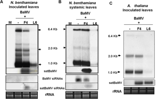 Accumulation of BaMV, satBaMV, and siRNAs in leaves of N. benthamiana and A. thaliana.Total RNA of 2.5 µg from N. benthamiana or 5 µg from A. thaliana were analyzed by northern blot analysis. The BaMV genomic (6.4 Kb), two subgenomic RNAs (2.0 and 1.0 Kb) and vsiRNAs were detected by a BaMV-specific probe and satRNA and satsiRNAs by a satBaMV-specific probe. M: mock (water) inoculation; −: BaMV alone. F4: noninterfering BSF4 satBaMV; L6: interfering BSL6 satBaMV. All films were exposed overnight except for detection of BaMV in N. benthamiana systemic leaves infected with BaMV or co-infected with BSF4 and BSL6 (3-hr exposure).