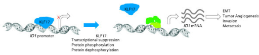 Regulation of ID1 expression by KLF17. ID1 transcription is suppressed by KLF17 binding to the ID1 promoter. Loss of expression of KLF17 by transcriptional suppression or inactivation by post-translational modification (possibly by phosphorylation or dephosphorylation) leads to transcription of ID1 through positive transcriptional regulators (shown in green) and induction of the multiple processes regulated by its protein product, Id1.