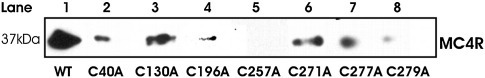 Detection of residue on the MC4R that interacts with the C-terminus of the agonist. Membrane samples prepared from HEK293 cells expressing the MC4R were incubated separately with 100 nM of each biotinylated cysteine-substituted NDP-MSH peptide 13 in the absence (T, total binding) or in the presence  (N, nonspecific binding) of 50 μM SHU9119 and 1 mM GTPγS. Peptide 13 has cysteine at position 13 of the NDP-MSH ligand. Cysteine-to-cysteine cross-linking was induced by further incubation in the presence of CuP. Samples were then analyzed by SDS-PAGE, followed by Western blot analysis and detection of biotin using streptavidin polyperoxidase and chemiluminescence. The absence of cross-linking is an indication of the position of interaction of peptide 13. Molecular mass is expressed in kilodaltons. The MC4R/peptide complex is located at 37 kDa.