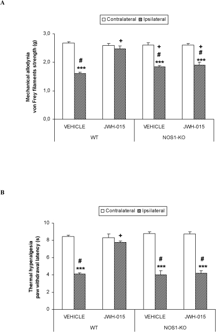 The antiallodynic and antihyperalgesic effects of JWH-015 in WT and NOS1-KO mice.Effects of the subplantar administration of 150 µg of JWH-015 or vehicle in the contralateral and ipsilateral paw withdrawal latencies to a mechanical (A) or thermal (B) stimulus in WT and NOS1-KO mice, at 10 days after CFA injection. Data are expressed as mean values of the von Frey filaments strength (g) for mechanical allodynia and as the paw withdrawal latency (s) for thermal hyperalgesia ± SEM (5–6 animals per group). For each test, *** p<0.001, indicates significant differences vs. their contralateral paw (paired Student's t test), + indicates significant differences as compared with the ipsilateral paw of vehicle treated group (p<0.05, one way ANOVA followed by the Student-Newman-Keuls test) and # indicates significant differences as compared with the ipsilateral paw of WT group treated with JWH-015 (p<0.05, one way ANOVA followed by the Student-Newman-Keuls test).
