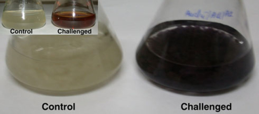 The flasks containing the biomass of the Aspergillus clavatus biomass in sterile distilled water (Control) and in aqueous solution of 1 mM HAuCl4 after the reaction of 72 h (the biomass colour changed into dark purple). Inset shows the pictures of fermentation broth of Aspergillus clavatus challenged by 1 mM HAuCl4.