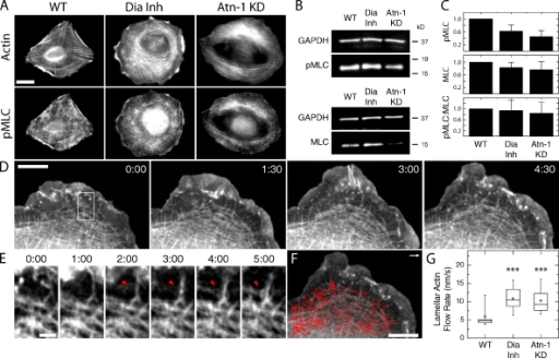 Suppressing RSF assembly reduces the quantity of active myosin II but increases lamellar actin retrograde flow rate. (A) Immunofluorescence images of pMLC and fluorescent phalloidin staining of F-actin are shown for WT, Dia Inh, and Atn-1 KD U2OS cells. Bar, 20 µm. (B) Western blots showing MLC and pMLC for each condition in relation to a glyceraldehyde 3-phosphate dehydrogenase (GAPDH) loading control. (C) Densitometry analysis of Western blots showing the relative levels of pMLC, MLC, and the ratio of pMLC to MLC for each condition, normalized to WT cells. There is no significant difference in the ratio of MLC to pMLC for each condition. The bar plot shows the mean ratio relative to WT cells (error bars indicate SEM; n = 6 for each condition). (D) A series of images of GFP-actin expressed in a protruding Atn-1 KD cell over time. Time is indicated in minutes/seconds. Bar, 10 µm. See Video 1. (E) Magnified images of the boxed region indicated at time 0 in D, illustrating the reorientation of a transverse arc to align in the direction of retrograde flow (red arrowheads). Bar, 2 µm. (F) Actin flow vectors are overlaid on the GFP-actin image from E at 4 min and 30 s. The white arrow represents 15 nm/s. Bar, 10 µm. (G) A box plot of the lamellar retrograde flow speed for each condition described (open circle = mean; box = 25th, 50th, and 75th percentile; whiskers = 5th and 95th percentile; n > 150 flow vectors from multiple regions in three to five cells for each condition; ***, P < 0.001 with respect to WT).