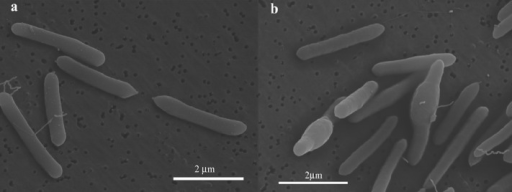 Scanning electron micrographs of Paenibacillus sp. JDR-2. Panel (a) is representative of the bacilli harvested in the vegetative state and panel (b) indicates individuals with expanded midsections which are entering the sporulation phase. Pjdr2 cells were grown in Luria Broth and harvested by centrifugation at the exponential growth phase (a) and post exponential phase (b), the pellets washed with water 3 times and prepared for scanning electron microscopy by the Electron Microscopy and Bio-Imaging laboratory, ICBR of the University of Florida.
