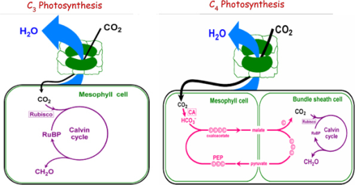 A schematic diagram of C3 and C4 photosynthesis. | Open-i