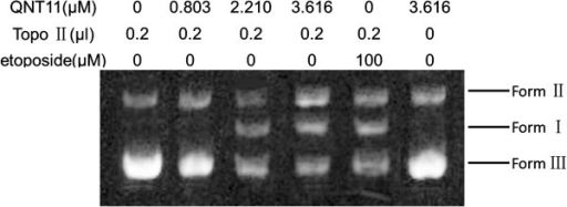 The inhibition effects of QNT11 on DNA topoisomerase II activity. Human topoisomeraseIIα was incubated with supercoiled pBR322 DNA in relaxation buffer under increasing concentrations of QNT11. Samples were subjected to electrophoresis in 1% agarose gels and then stained with ethidium bromide and photographed under a UV transilluminator.