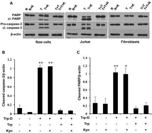 Apoptosis induction in Raw264.7 cells in response to tryptophan deficiency.(A) Raw264.7 cells were cultured in RPMI (R), tryptophan-deficient medium (T), tryptophan-deficient medium supplemented with 50 µg/ml tryptophan (T+T) in the presence or absence of 50 µg/ml kynurenine (K) for 24 hours. Presence of PARP, cleaved PARP (cl. PARP), Pro-caspase-3 and cleaved caspase-3 (cl. caspase-3) were analyzed by Western blotting. β-actin was used as the protein loading control. Jurkat cells and dermal fibroblasts were cultured in the same conditions. Results are representative of four independent experiments. (B) The ratio of cleaved-caspase-3/β-actin expression in Raw264.7 cells. (C) The ratio of cleaved PARP/β-actin expression in Raw264.7 cells. Data is mean±SEM of four independent experiments (*P-value<0.05 and **P-value<0.01, n = 4).