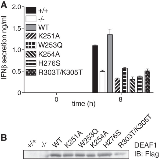 DEAF1 transcriptional activity and nuclear localization is needed to stimulate IFNβ production.A, immortalized MEFs from DEAF1−/− mice were stably reconstituted with either FLAG-tagged wild-type (WT) DEAF1, DEAF1[K251A], DEAF1[W253Q], DEAF1[K254A], DEAF1[H276S] and DEAF1[R303T/K305T]. These MEF cell lines, as well as the immortalized MEFs from wild type mice (+/+) and DEAF1−/− mice were infected with Sendai virus (SeV) (100 HA/ml) for the times indicated, and the concentration of IFNβ in the culture medium was measured by ELISA. The results are shown ± S.D. for triplicate determinations. B, the cell extract from A (25 μg protein) was denatured in SDS, subjected to SDS-PAGE, transferred to a nitrocellulose membrane, and immunoblotted (IB) with anti-FLAG to show the expression of the different DEAF1 mutants in the reconstituted MEFs.