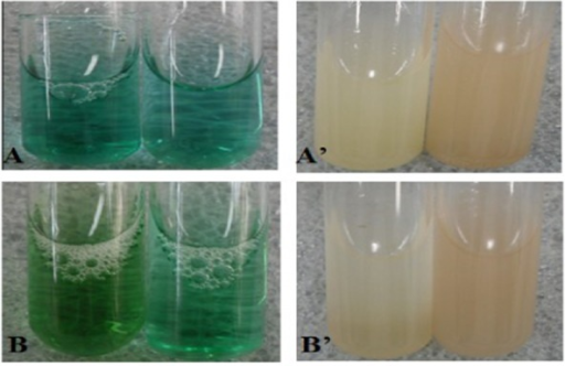 The qualitative assay of LiP and MnP after 7 days incubated in MYPGB at 24°C and pH 7.0 with shaking (100 r min−1). (A) Methylene blue qualitative assay of LiP from G. frondosa; (A′) methyl catechol qualitative assay of MnP from G. frondosa; (B) methylene blue qualitative assay of LiP from Agrocybe sp.; (B′) methyl catechol qualitative assay of MnP from Agrocybe sp. The left test tubes were control tests.