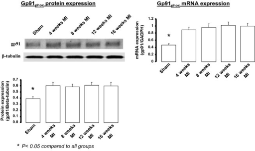 gp91phox protein and mRNA expression in the brainstem of mice at various time periods post‐MI compared to a group of sham‐operated mice. Samples acquired during the daytime period. For sham protein n = 5. For sham mRNA, n = 9. For post‐MI time points n = 5 per time period.