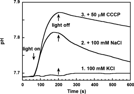 Light-induced pH changes in a suspension of E.coli cells with G. limnaea rhodopsin expressedand reconstitutedwith all-trans-retinal: trace 1, absence of pH changein sodium free medium [in 100 mM KCl (pH 7.5)]; trace 2, proton uptake(alkalinization) in 100 mM NaCl; trace 3, same as trace 2 but afteraddition of a protonophore (50 μM CCCP), which increases therate and extent of passive proton influx.