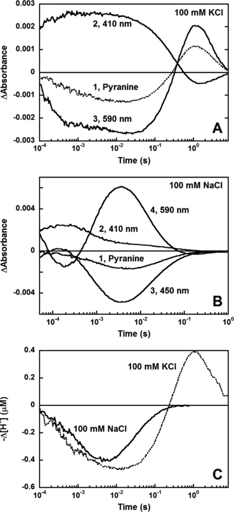 Light-induced pH changes produced by GLR assayedwith pyranine(pH 7.2–7.4). (A) In 100 mM KCl: 1, pyranine response; 2, ΔA at 410 nm; 3, ΔA at 590 nm. Protonrelease occurs with two time constants, 0.7 and 9.9 ms; the subsequentproton uptake with one (430 ms) and slow release one (2.6 ± 0.1s). The decay of M (ΔA at 410 nm) and the riseof the red-shifted intermediate (ΔA at 590nm) occurred with a time constant of 400 ms, similar to that of H+ uptake. The decay of ΔA at 590 nmoccurs with a time constant of 2.7 s, similar to that of slow protonrelease. (B) In 100 mM NaCl: 1, pyranine response; 2, ΔA at 410 nm; 3, ΔA at 450 nm; 4,ΔA at 590 nm. Proton release occurs with atime constant of ∼1 ms and uptake with a time constant of 50ms. (C) Comparison of the pyranine response in 100 mM KCl and 100mM NaCl. A decrease in pyranine absorbance corresponds to proton release.