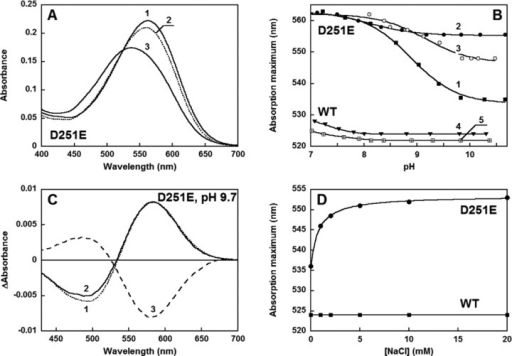 Propertiesof the D251E mutant in the initial state. (A) Shiftof the absorption spectrum from an increase in pH at low salt concentrations(1–3 mM KCl): (1) pH 5.6, (2) pH 9.0, and (3) 10.6. (B) DifferentpH dependence of the absorption maximum of the D251E mutant (curves1–3) and the WT (curves 4 and 5): (1) 100 mM KCl, (2) 100 mMNaCl, (3) 10 mM NaCl, (4) 100 mM NaCl, and (5) 100 mM KCl. (C) Absorptionchanges produced by (1) binding of H+ with a decrease inpH from 10.4 to 9.7 in 3 mM KCl, (2) addition of 10 mM NaCl to 3 mMKCl at pH 9.7, and (3) subsequent addition of 20 mM KCl (note thatthe latter change is the opposite of the others). (D) Red shift ofthe absorption maximum of the D251E mutant produced by the additionof NaCl at pH 10.3 (in the presence of 3 mM KCl). Such a shift doesnot occur in the WT under the same conditions.