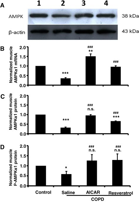 The expression of AMPK in muscle tissue was decreased in COPD model rats, and AICAR or resveratrol treatment recovered AMPK expression in COPD model rats. (A) Sample blots of AMPK and β-actin. Normalized muscle AMPK mRNA (B; Control: n = 14; COPD/saline: n = 12, 0.35 ± 0.04; COPD/AICAR, n = 14, 1.50 ± 0.12; COPD/Resveratrol, n = 12, 0.96 ± 0.05; ***F1, 25 = 68.31, p < 0.001 comparing the control group to the COPD/saline group; **F1, 27 = 11.89, p = 0.002 comparing the control group to the COPD/AICAR group; ###F1, 23 = 74.98, p < 0.001 comparing COPD/saline to COPD/resveratrol; ###F1, 25 = 60.98, p < 0.001 comparing COPD/saline to COPD/AICAR group). Normalized muscle AMPK protein (C; Control: n = 14; COPD/saline: n = 12, 0.32 ± 0.03; COPD/AICAR, n = 14, 0.96 ± 0.04; COPD/resveratrol, n = 12, 0.66 ± 0.01; ***F1, 25 = 66.17, p < 0.001 comparing the control group to the COPD/saline group; ***F1, 25 = 25.21, p < 0.001 comparing the control group to the COPD/resveratrol group; n.s. F1, 27 = 0.16, p = 0.70 comparing the control group to the COPD/AICAR; ###F1, 25 = 31.52, p < 0.001 comparing COPD/saline to COPD/AICAR; ###F1, 23 = 24.58, p < 0.001 comparing COPD/saline to COPD/resveratrol group. n.s. (not significant). Normalized muscle p-AMPK protein (D; Control: n = 6; COPD/saline: n = 6, 0.58 ± 0.14; COPD/AICAR, n = 6, 1.26 ± 0.30; COPD/resveratrol, n = 6, 1.29 ± 0.30; * F1, 11 = 5.1, p < 0.05 comparing the control group to the COPD/saline group; ###F2, 17 = 15.15, p < 0.001 comparing COPD/saline to COPD/AICAR and COPD/resveratrol. n.s. F2, 17 = 0.093 comparing the control group to the COPD/resveratrol group and COPD/resveratrol. n.s. (not significant).