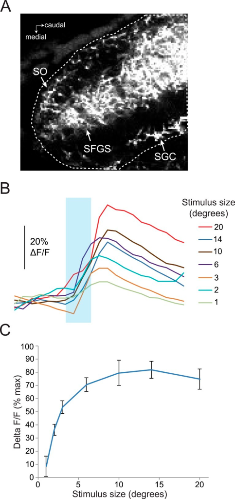 Response of RGC axons in the tectum to stimuli of varying sizes.(A) Baseline fluorescence of RGC axons in the anterior half of the tectum, 50 µM below the dorsal surface of the tectum. Dotted line shows ROI, which includes the SO, SFGS, and SGC. (B) Traces showing responses to a range of different size stimuli in RGC axons in the anterior tectum of one larva. Ath5:Gal4, UAS:GCaMP6s larvae were used for these experiments. (C) Average response of five larvae to stimuli 1–20° in diameter.DOI:http://dx.doi.org/10.7554/eLife.04878.008