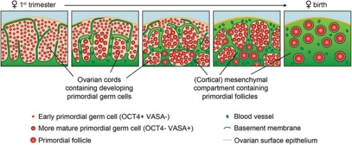 Model of ovarian cords and mesenchymal compartment organization in fetal ovaries during gonadogenesis up to early folliculogenesis. In female gonads, a specific organization in ovarian cords appear. The majority of germ cells in the first trimester ovary are early germ cells, but in the second trimester both early and more mature germ cells (morphological bigger germ cells) were present and segregated spatially in the ovary: early germ cells located closer to the surface whereas the more mature (bigger) germ cells are located in the inner part of the cortex [17]. From W17, individual primordial follicles become embedded in the mesenchymal compartment and at birth all germ cells are present as individual primordial follicles in the mesenchymal compartment which supports the further development of these follicles up to ovulation in adulthood.