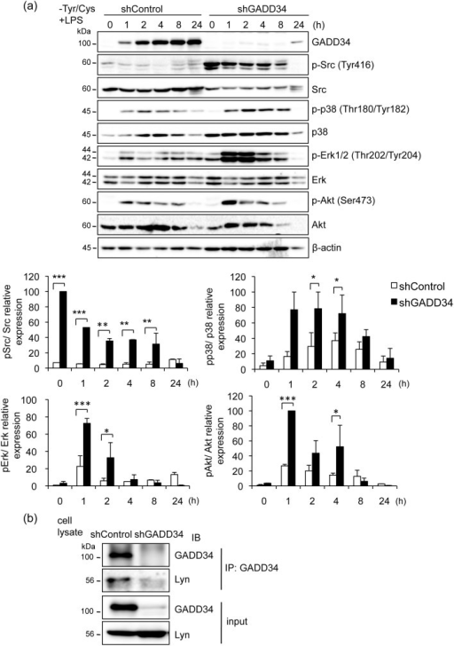 Loss of GADD34 increased cell activation signaling induced by LPS with Tyr/Cys-deprivation.(a). GADD34-deficient or control RAW 264.7 cells were treated with LPS (1 μg/mL) with Tyr/Cys-deprivation for the indicated times (0–24 h). Cell lysates were immunoblotted with the indicated antibodies. Graph shows the relative expression as means ± SE of three independent experiments. (b). Cell lysates of GADD34-deficient or control RAW 264.7 cells were subjected to immunoprecipitation (IP) using anti-GADD34 antibody. Immunoprecipitates were immunoblotted (IB) with anti-Lyn and anti-GADD34 antibodies. Data are representative of three independent experiments. The original immunoblots are presented in Supplementary Figure 4. *p < 0.05, **p < 0.01, *** p < 0.001.