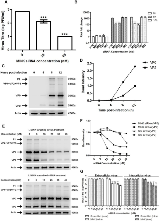 MINK plays an essential role in EV71 viral protein synthesis.(A) EV71 viral RNA was transfected into RD cells pre-treated with MINK siRNA and supernatant was harvested from cells at 12h post-infection (hpi) for viral plaque assay. Silencing of MINK with targeting siRNA continued to cause inhibition of virus replication. Statistical analysis was performed using one-way ANOVA with Dunnett's test (Graphpad software). *** P < 0.0001 (n = 3) versus untreated control (0nM). (B) EV71 RNA synthesis was sensitive to silencing efficiencies of MINK. Quantitative RT-PCR assay revealed significant reduction in levels of EV71 RNA across increasing siRNA concentration in MINK siRNA-treated cells. Total RNA was extracted for all samples at 0, 8 and 10hpi and EV71 RNA levels were measured. CT values were normalised against actin and relative quantification of viral RNA level was determined. The ΔΔCt data were calculated from three independent experiments and error bars represent standard deviation for triplicate data sets. Fold difference of viral RNA for all samples was calculated relative to the RNA level in the transfection control (PTC) at 0hpi. Statistical analyses were carried out using one-way ANOVA with Dunnett's test (Graphpad software). *P<0.05 and *** P < 0.0001 (n = 3) vs the respective PTC at each time-point. (C) Time course study of EV71 structural protein expression via Western blot analysis. Upper band (36kDa) represents VP0 while lower band (28 kDa) represents VP2. β-actin was used as the loading control. (D) Band intensity of VP0 and VP2 in time course study. The band intensities representing VP0 and VP2 protein expression level were quantitated with reference to actin control bands (for each time-point) and 0hpi using ImageJ Gel Analysis program. (E) Viral protein expression levels upon the silencing of MINK. VP0 and VP2 viral protein expression was observed to decrease with increasing concentration of siRNA targeting MINK. (F) Band intensities of VP0 and VP2 upon siRNA knockdown of MINK. The band intensities representing VP0 and VP2 protein expression level were quantitated with reference to actin control bands (for each siRNA concentration) and 0nM using ImageJ Gel Analysis program. (G) Extracellular and Intracellular virion levels upon the silencing of MINK. Extracellular EV71 virions in the supernatant and intracellular virus particles were harvested separately at 12hpi for viral plaque assay to assess the effect of siRNA knockdown of MINK on virus packaging and release. Silencing of MINK resulted in significant reduction in both intracellular and extracellular virions. Statistical analysis was performed using one-way ANOVA with Dunnett's test (Graphpad software). **P < 0.01 and *** P < 0.0001 (n = 3) versus untreated control (0nM).