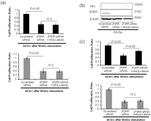 Wild-type β-catenin or constitutively active mutant β-catenin constructs were cotransfected into PK-1 cells with scrambled siRNA or (P)RR siRNA expression.(a) Effect of wild-type β-catenin (wt β-catenin) on the (P)RR siRNA-induced reduction in PK-1 cell proliferative ability. (b) The protein expression of (P)RR and Myc indicates efficiency of gene transfection with (P)RR (ATP6AP2) siRNA and a plasmid carrying a constitutively active aa 1–90-deleted β-catenin tagged with Myc, respectively. (c) Effect of constitutively active mutant β-catenin (mut β-catenin) on (P)RR siRNA-induced reduction in PK-1 cell proliferative ability. Cell proliferation was evaluated at 24 h and 48 h after Wnt 3a stimulation by WST-1 assays (mean ± SEM, n = 3 for each, P < 0.05 vs. (P)RR siRNA cells). N.S., not significant.