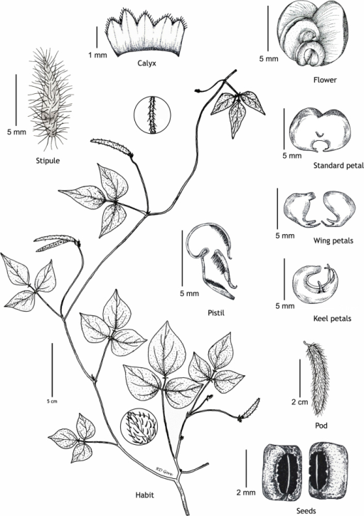 Details of chasmogamous flowers of Vignapandeyana Gore et al. (all from RD Gore 1007, drawn by Ramchandra D. Gore).