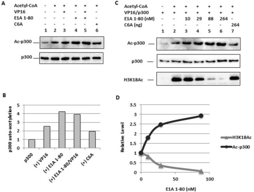 "Enhancement of p300 autoacetylation by E1A 1-80 and correlation with inhibition of H3K18 acetylationA. p300 autoacetylation is enhanced by E1A 1-80. In vitro acetylation assay was performed with p300, VP16 (Gal4-VP16) (lanes 3 and 5), E1A 1-80 (264 nM, lanes 4 and 5), or C6A mutant (lane 6) in the absence of chromatin. Western blots were performed with acetyl-Lys antibody (for acetylated p300, Ac-p300, upper panel) or p300 antibody (lower panel).B. Quantitation of autoacetylated p300. Western blot chemiluminescence was quantitated on a Bio-Rad scanner directly (see ""Materials and methods""), and normalized to the Ac-p300 level of lane 2. Data from lanes 2-6 were plotted.C. Titration of E1A 1-80 for its modulation of p300 autoacetylation and H3K18 acetylation. In vitro acetylation reaction was performed with p300 and VP16 (Gal4-VP16) with assembled chromatin, and varying amounts of E1A 1-80 (lanes 3-6), or C6A mutant (lane 7). Western blots were performed with antibodies as indicated.D. Quantitation of p300 autoacetylation and H3K18 acetylation. Quantitation of Western blot signals was as in B. Data from lanes 2-5 were plotted."