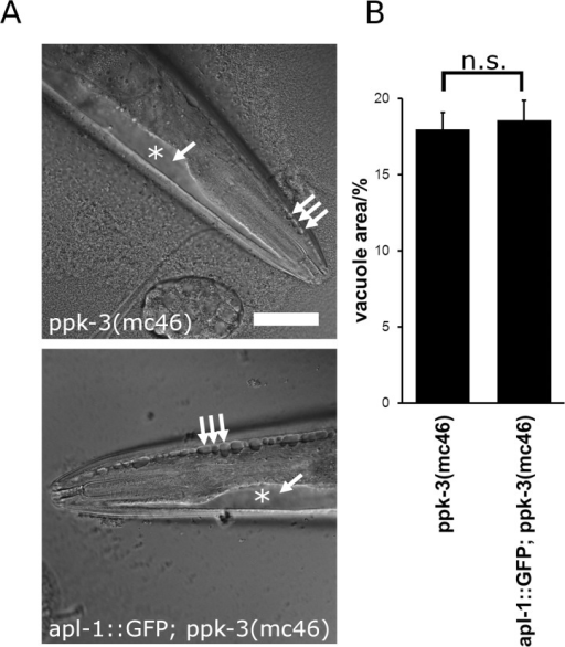 APL-1 overexpression, while able to rescue partial loss of PPK-3 function, failed to rescue the ppk-3(mc46)  allele.(A) Expression of APL-1::GFP failed to rescue lethality of ppk-3  animals and failed to rescue vacuolation in apl-1::GFP; ppk-3(mc46) animals. Bar, 50μm. (B) Quantification of the relative vacuolated area in ppk-3(mc46) and apl-1::GFP; ppk-3(mc46) animals showed that APL-1 overexpression failed to rescue complete loss of PPK-3 function (n≥38, p = 0.73 (two-tailed t-test), suggesting that APL-1 functions upstream of PPK-3.