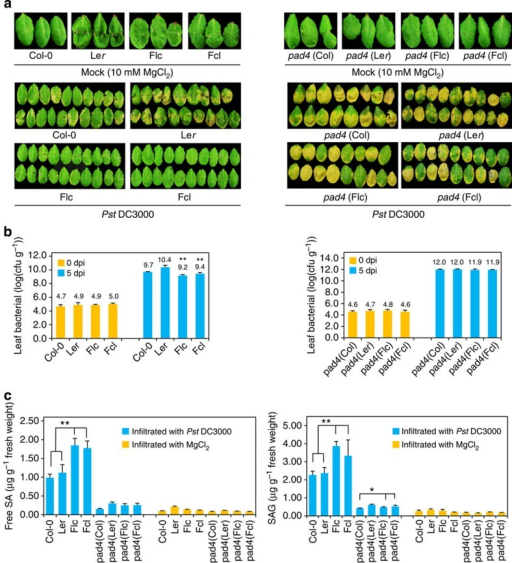 Increased resistance to the biotrophic bacterial pathogen was compromised in F1 hybrids of pad4 mutants.(a) Phenotypes of Col-0 × Ler and pad4 (Col) × pad4 (Ler) parental lines and their respective F1 hybrids 5 dpi with MgCl2 (10 mM) or Pseudomonas syringae pv. tomato (Pst) DC3000 (1 × 105 c.f.u. ml−1). Flc and Fcl, reciprocal F1 hybrids, where maternal line is Ler and Col-0, respectively. (b) Bacterial titer (log10) of Col-0 × Ler and pad4 (Col) × pad4 (Ler) parental lines and their respective F1 hybrids 5 dpi with Pst DC3000 (1 × 105 c.f.u. ml−1). Bacterial growth is expressed as mean values of viable bacteria per gram of leaf tissue±s.d. Error bars indicate s.d.. Data are shown as mean±s.d. (n=8, n means biological replication). (c) Free SA and SA glycoside (SAG) levels in Col-0 × Ler and pad4 (Col) × pad4 (Ler) parental lines and their respective F1 hybrids 1 dpi with Pst DC3000 at 1 × 105 c.f.u. ml−1. The results are a representative of three biological repetitions. Error bars indicate s.d.. Data are shown as mean±s.d. (n=3, n means technical replication). *P<0.05 and **P<0.01 between hybrids and parents (Student's t-test).