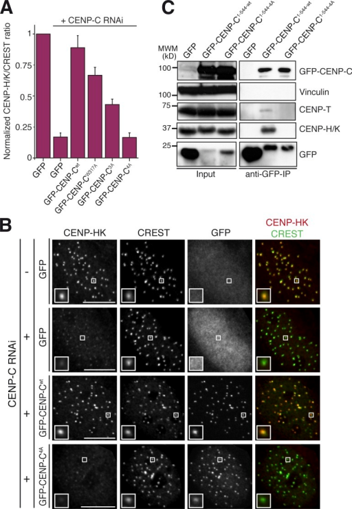 The CENP-C4A mutant abrogates rescue of CENP-HK localization to kinetochores. (A) Quantification of immunofluorescence experiment in fixed Flp-In T-REx HeLa cells depleted of endogenous CENP-C (where indicated) and expressing the indicated GFP constructs. The kinetochore levels of CENP-HK were measured and normalized to CREST. Graphs and bars indicate means ± SEM of three independent experiments. (B) Representative images of the dataset quantified in A and documenting the levels of CENP-HK protein in cells expressing GFP–CENP-C or GFP–CENP-C4A. Bars, 10 µM. Magnification = 630×. Insets show a magnification of the white boxed areas that capture one or more kinetochores in each panel. (C) GFP–CENP-C1–544 but not the GFP–CENP-C1–544-4A mutant coimmunoprecipitates CENP-HK and CENP-TW. α-GFP coimmunoprecipitation analysis was performed on protein extracts from cycling Flp-In T-REx HeLa cells expressing GFP, GFP–CENP-C, or GFP–CENP-C4A from an inducible promoter. Total protein extracts (Input) and immunoprecipitates (α-GFP co-IP) were separated by SDS-PAGE and blotted with the indicated antibodies. Vinculin served as loading control. IP, immunoprecipitation.