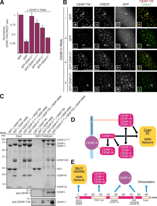 CENP-C4A abrogates rescue of CENP-TW localization to kinetochores. (A) Quantification of immunofluorescence experiment in fixed Flp-In T-REx HeLa cells depleted of endogenous CENP-C (where indicated) and expressing the indicated GFP constructs. The kinetochore levels of CENP-TW were measured and normalized to CREST. Graphs and bars indicate mean ± SEM of three independent experiments. (B) Representative images of the dataset quantified in A and documenting the levels of CENP-TW protein in cells expressing GFP–CENP-C or GFP–CENP-C4A. Bars, 10 µM. Magnification = 630×. (C) GST–CENP-C2–545 does not bind directly to CENP-TW in a GST pull-down assay. Bands were visualized with Coomassie brilliant blue staining. (left) Only when HIKM is included in the assay, CENP-TW is incorporated into the complex. Because CENP-I and CENP-T comigrate on the SDS-PAGE gel shown, 10% of the pull-down samples were separated on a new SDS-PAGE and subjected to Western blotting with either a CENP-T or CENP-I antibody. (D) Recasting of the kinetochore assembly scheme based on our new results. (E) The CENP-C sequence contains a linear array of motifs whose succession appears to correlate with the order of kinetochore assembly from the CENP-A nucleosome toward the outer kinetochore. N, N terminus; C, C terminus.