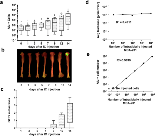 Alu PCR accurately quantifies tumor cell establishment in the bone.Representative ex vivo imaging of tibiae at different time points after intracardiac injection of MDA-231 tumor cells (a) and quantification of GFP+ bone tumors per mouse (c) (n = 5)with representative GFP images (b). BLI of tibiae injected with known numbers of MDA-231 cells expressing Luciferase (d) and corresponding Alu qPCR from the same bones (e), n = 2.