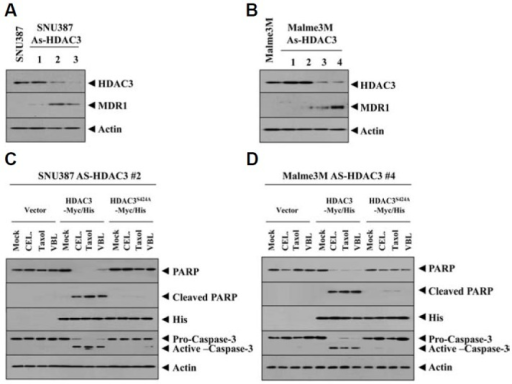 Wild type, but not mutant HDAC3, confers sensitivity to microtubule-disrupting drugs in cancer cell lines that stably express antisense-HDAC3. Cell lysates from the indicated cell line were subjected to Western blot (A, B). (C) SNU387 cells that stably express antsense-HDAC3 (SNU387-As-HDAC3) were transiently transfected with control vector, HDAC3-Myc/His or HDAC3S424A-Myc/His. At 24 h after transfection, cells were treated with or without celastrol (1 μM), taxol (1 μM) or vinblastine (100 nM) for 24 h, followed by Western blot analysis. (D) The same as C except that Malme3M-As-HDAC3 cell line was employed.