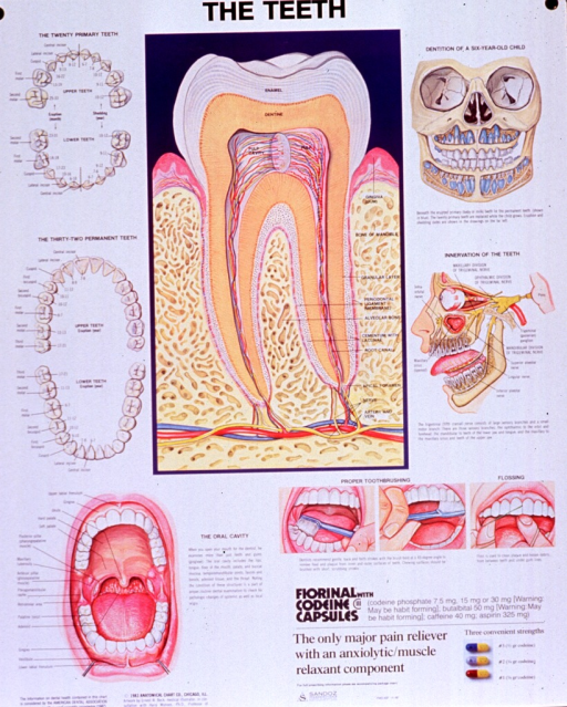 <p>Predominantly white poster with black lettering.  Title at top of poster.  Visual images are color illustrations of teeth and oral anatomy, as well as proper methods for toothbrushing and flossing.  Color photo reproduction featuring three strengths of fiorinal with codeine capsules in lower right corner.  The capsules are a combination of pain reliever and anxiolytic/muscle relaxant.  Note text in lower left corner.  Publisher information at bottom of poster.</p>