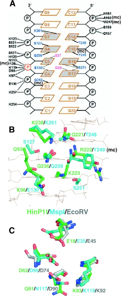 Structural similarity between HinP1I and MspI (A) Schematic diagram of MspI–DNA interactions, reproduced and modified from Xu et al. (5). Solid lines indicate direct hydrogen bonds, dotted lines indicate water-mediated hydrogen bonds and 'mc' indicates interaction involving main chain atom. (B) Residues potentially important for DNA base specific recognition: superimposition of residues of HinP1I (green) and MspI (cyan). (C) Residues potentially important for catalysis: superimposition of active site residues of HinP1I (green), MspI (cyan) and EcoRV (grey). Four residues belong to a common motif of E……PDX15DXK (EcoRV), E……SDX18QXK (HinP1I) and E……TDX17NXK (MspI).