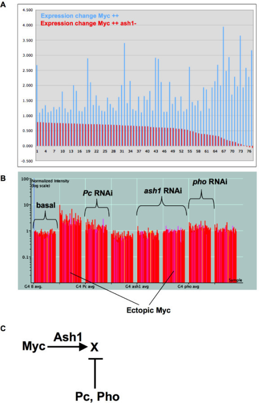 "Ash1 works against Pc/Pho repression to facilitate Myc activation. (A) Changes in expression of 77 genes are shown, log2 of ratios of expression over basal, for transcripts whose levels increase with ectopic Myc (blue bars). For each of the 77 genes, changes in expression are also shown in embryos with ectopic Myc and ash1 RNAi (red bars, next to the blue bar for each gene). (B) A graph showing the expression of 60 genes in response to eight genetic conditions, as clustered by K-means. The log10 scale of normalized expression for each gene is represented as a vertical line, and along the X axis left to right, the 60 are grouped by sample: Gal4 alone, Gal4 Myc, Gal4 Pc RNAi, Gal4 Myc Pc RNAi, Gal4 ash1 RNAi, Gal4 Myc ash1 RNAi, Gal4 pho RNAi, Gal4 Myc pho RNAi. These Myc activated genes fail to be activated with ash1 RNAi (compare 2nd and 6th sets), and they are also repressed by Pc and Pho (compare 1st, 3rd and 7th sets). (C) A Model suggesting a possible regulation scheme for the genes shown in B, ""X""."