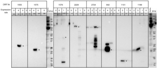 E.coli expression in vitro. Presented are western blots of 8 targets expressed with C-terminal wild type, C-terminal mutant, N-terminal wild type and original plasmid DNA templates (from left to right). Successful protein expression was defined for values 2 – 4 and unsuccessful protein expression for values of 0 and 1. Bands of the expected size are marked with a +.